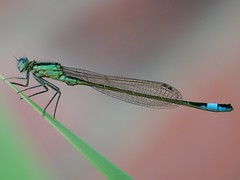 The Turquoise tale. (von8itchfisk) Tags: macro nature bug garden insect outside turquoise mygarden damselfly battisford vonbitchfisk turquoisetail