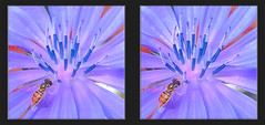 Hoverfly on Common Chicory 1 - Crosseye 3D (DarkOnus) Tags: macro closeup insect fly stereogram 3d crosseye day phone pennsylvania cell stereo friday chicory stereography buckscounty hoverfly fdf huawei crossview hfdf flydayfriday mate8 darkonus
