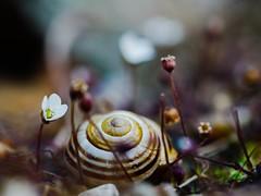 A slow hypnotic suited dance through the death garden. (von8itchfisk) Tags: flower macro nature garden outside death dance snail alpine slowdance mygarden hypnotic battisford vonbitchfisk