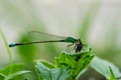 Damselfly enjoying a meal (Just_hobby) Tags: macro insect outdoor damselfly animalplanet extensiontube sel50f18 sonya6000