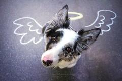Floey (Martyna Og) Tags: dog animal pet familly ohana floey bordercollie street walking walk forest painting art streetart bluemerle angel dogangel sweetface