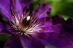 Clematis. (Joseph Skompski) Tags: flowers flower macro nature gardens garden colorful purple gardening clematis maryland wheaton brooksidegardens brookside wheatonmd