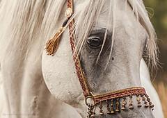 (Jagoda 1410) Tags: horse animal outdoor arabianhorse stallion equine equinephotography arabianstallion horsearabian