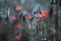 Un insieme qualsiasi. (SimonaPolp) Tags: blue red primavera nature june canon spring blu wheat natura poppies giugno rosso papaveri grano sanpietroinlucone 18062016