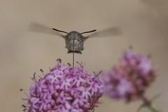 Esfinge colibr repostando en vuelo (jrosvic) Tags: butterfly spain murcia sphingidae mariposa sierraespua macroglossumstellatarum nikon300mmf4 esfingecolibr lepidpteroditrisio nikond7100