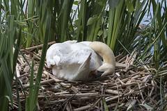 Cygne tubercul - Mute Swan (Judith Lessard) Tags: oiseaux birds cygne swan cygnetubercul muteswan