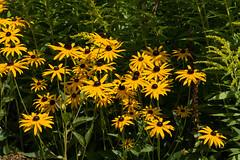 ckuchem-6810 (christine_kuchem) Tags: blte blten garten gartenstaude goldrute naturgarten privatgarten rudbeckia sommer sommerblumen sonnenhut staude stauden staudengarten gelb naturnah natrlich