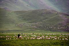 Sheperd (MelindaChan ^..^) Tags: china horse river crossing sheep chinese mel prairie  melinda grassland rider xingjiang sheperd blackheadpersian chanmelmel blackheadedsheep melindachan