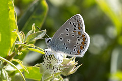 Icarusblauwtje , Common blue (Thijs de Bruin) Tags: commonblue icarusblauwtje blue