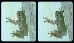 Eastern or Cope's Gray Treefrog Young 1 - Parallel 3D (DarkOnus) Tags: copes treefrog gray eastern pennsylvania buckscounty huawei mate 8 cell phone 3d stereogram stereography stereo darkonus closeup macro parallel