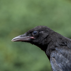 Bientt la libert -*---  (Titole) Tags: black birds beak feathers squareformat crow oiseau shallowdof carrioncrow thechallengefactory titole nicolefaton