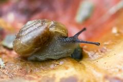 Snail (bayoudragonfly) Tags: macro nature mushroom snail fungus