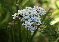 Hoverfly on Yarrow photobomb (froggieb - Broken Camera, limited to cell phone :() Tags: hoverfly flowerfly syrphidfly syrphidae yarrow flower blooms white achilleamillefolium greenbug gardening nature outside