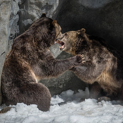 DSC_0248-1 (craigchaddock) Tags: montana scout sandiegozoo centenial grizzlybear enrichment ursusarctoshorribilis centenialcelebration snowenrichment sdzoo100