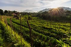 Sidemen () Tags: bali indonesia sunrise gunung agung mountain field