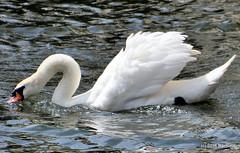 DSC_0500 (rachidH) Tags: birds oiseaux swan cygne muteswan cygnusolor cygnetubercul thames river kingston london england uk rachidh nature swanlings cygnets