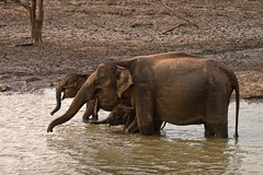 IMG_7735 (Kev Gregory (General)) Tags: park trip baby holiday elephant pool asian evening coast early october couple do afternoon young mother days sri lanka national late these southeast bathing herd 2009 spent results beruwala yula safaris