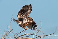 Juvenile Bald Eagle tries to land on small branch