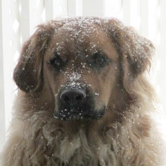 ** Toc..Toc..Toc..** (Impatience_1 (moins active ad mars)) Tags: dog chien pet animal zipper impatience coth bête animaldecompagnie supershot fantasticnature abigfave 100commentgroup alittlebeauty coth5 sunrays5