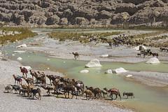 Bolan Caravan (raaskohX10) Tags: poverty pakistan mountain nature water river landscape asia stream donkeys homeless donkey camel caravan livestock camels gypsies nomads bolan baloch balochi balochistan nomadiclife