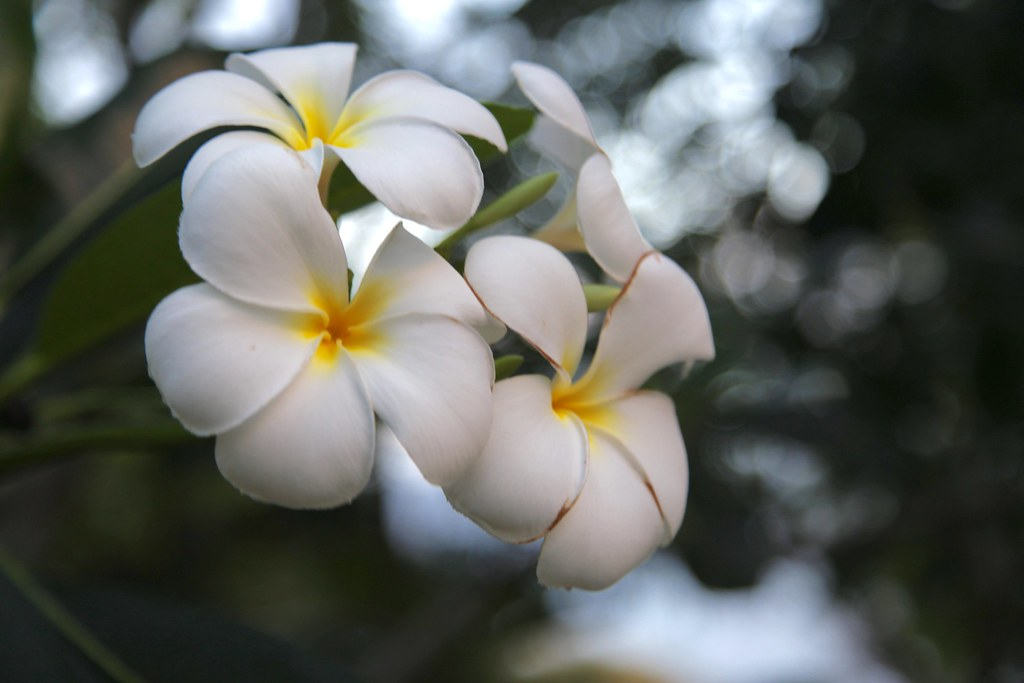 The worlds best photos of bloom and philippines flickr hive mind kalachuchi flowers rgreense tags flowers white flower beautiful yellow dof philippines bloom anilao mightylinksfo
