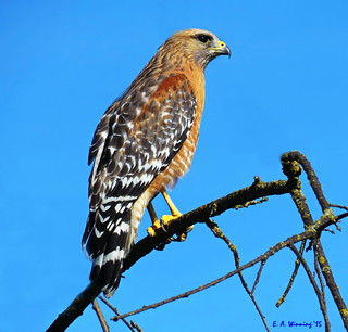 Western Red-shouldered Hawk 1790