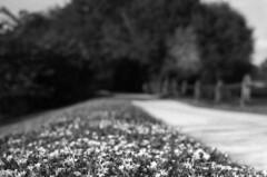 Battleground (Leicaflex SL, 50mm Summicron) (PositiveAboutNegatives) Tags: leica flowers film analog 50mm path sl summicron woodenfence coolscan leicaflex foma leitz arista fomapan200 50mmsummicron leicar leicaflexsl nikon9000scanner blackandwhitefilmphotography leicafilmphotography freefilmimages freefilmpictures