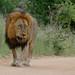 Lion (Panthera leo) walking on the road