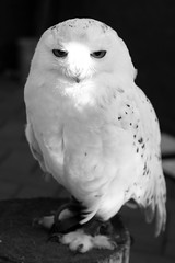113/365 Snowy Owl (princesspink 77) Tags: day113 day113365 365the2015edition 3652015 23apr15