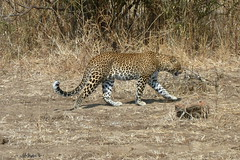 Leopard in Nsefu Sector of Luangwa
