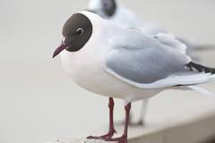 Pinkish Black-headed Gull (John Martin Mjelde) Tags: norway rosa nor akershus 3k sandvika hettemke