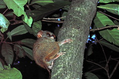 Tarsiers Come Out at Night