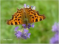 Perfect Fan (Nadine V.) Tags: butterfly lumix lavender panasonic papillon nophotoshop gehakkeldeaurelia vlinder lavendel polygonia nymphalinae robertlediable specanimal fz38 panasonicdmcfz38