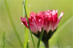 la petite rouge... (mars-chri) Tags: iledefrance paquerette valdoise roséedumatin butrysuroise