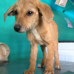 Pumpkin getting ready for her hernia surgery (Dharamsala Animal Rescue) Tags: puppy pumpkin hernia
