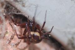 False Widow - Steatoda nobilis. (Procrustes2007) Tags: uk england spider suffolk wildlife arachnid flash nikond50 sudbury invertebrate wildlifephotography tamron2xteleconverter falsewidow steatodanobilis nikkor50mmais vivitarextensionrings68mmtotal noblehousespider d50nocturnalarachnids