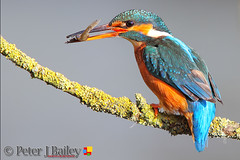 Common Kingfisher Alcedo atthis, perched on his branch just after sunrise. (Peter J Bailey (1 Million + Views)) Tags: uk fish sunrise photography branch cheshire hide kingfisher perched common workshops alcedo atthis peterjbailey