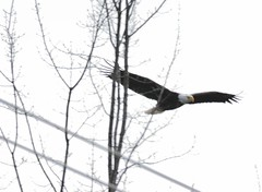 First full day of spring . . . (Dr. Farnsworth) Tags: white black bird mi spring nest head baldeagle large eggs fernridge nationalsymbol march2015