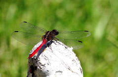 Dragon Fly (pat.bluey) Tags: dragonfly ngc australia npc newsouthwales 1001nights mygarden 1001nightsmagiccity