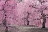 呉服枝垂れ (yuuichi akimoto) Tags: 梅 枝垂れ梅 鈴鹿の森庭園