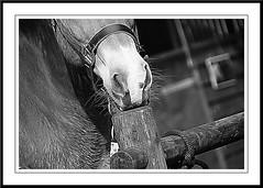 Saar B&W (gill4kleuren - 11 ml views) Tags: life horse me sarah fun outside happy running gill saar paard haflinger