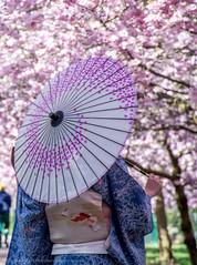 Japansk model (Facebook: TsPhotography.UE) Tags: pink bloom kbenhavn blooming bispebjerg forr lyserd japanskkirsebrtrer