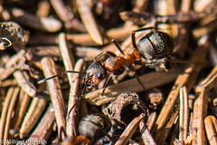 BWI3_162_12. April 2015 (wilfriedpförtsch) Tags: umwelt formicarufa rotewaldameise hautfluegler insektspinne ultratagproc20062013coolcolours ultratagpro401de reichdertiere