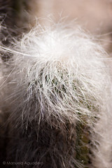 2-Textura-La suavidad de mi piel #cactus #pelos #hairs #2016 #jardnbotnico #uma #mlaga #espaa #spain #planta #plant #naturaleza #nature #macro #photography #photographer #sonyalpha #sonyalpha350 #sonya350 #alpha350 (Manuela Aguadero) Tags: cactus espaa naturaleza plant macro planta nature photography spain photographer uma mlaga hairs jardnbotnico pelos 2016 sonyalpha sonyalpha350 sonya350 alpha350