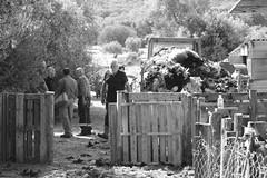 Tonte des moutons (be.aboul) Tags: france wool monochrome blackwhite sheep shepherd corse corsica foire shearing noirblanc laine berger