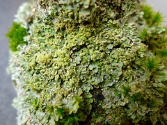 Flavoparmelia soredians (aburgh) Tags: foliose flavoparmelia corticolous sorediate
