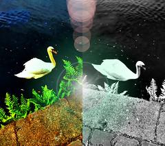 10, 9, 8, 7, 6, 5, 4, 3... (gaypunk) Tags: water salad swan swans prius flare ferns bigtoe