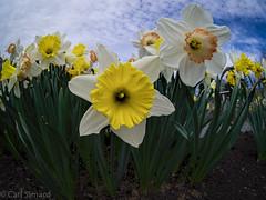 Narcissus (CarlJF) Tags: flowers spring fisheye narcissus jardinvandehende