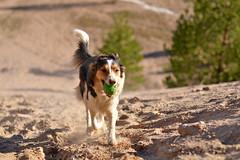 DSC_1623T (juliannahiaasen) Tags: portrait dog pet dogs animal training photography bordercollie australianshepherd dogphotography dogtraining dogportrait dogphotographer
