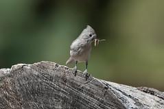 Feeding Time (martytdx) Tags: ca birds tit feeding birding titmouse nesting songbird pinevalley oaktitmouse paridae baeolophusinornatus baeolophus ktichencreekroad cibbettsflatcampground